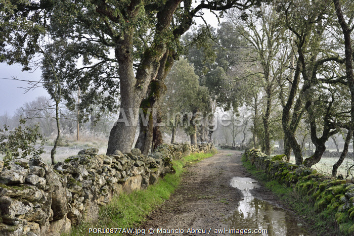 awl-images.com - Portugal / Misty and cold morning with common ashes and oaks at Vale de �guia, in the International Douro Nature Park (Parque Natural do Douro Internacional). Miranda do Douro, Portugal