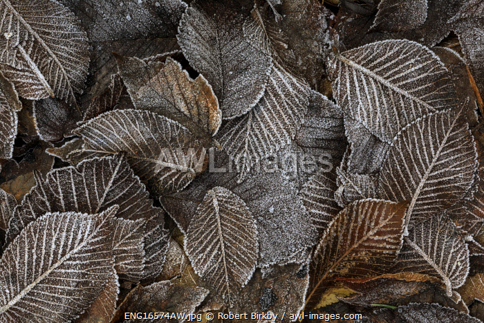 awl-images.com - England / England, West Yorkshire, Calderdale. Frosty leaf litter at the end of autumn.