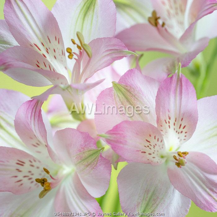 USA, Washington State, Seabeck. Alstroemeria blossoms close-up