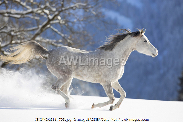 Thoroughbred Arabian mare grey in snow, Tyrol, Austria, Europe