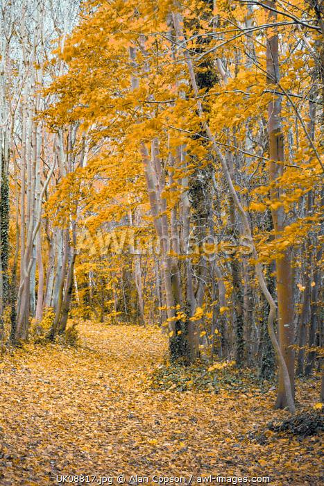 UK, England, Cambridge, Wandlebury Ring Country Park, Autumn