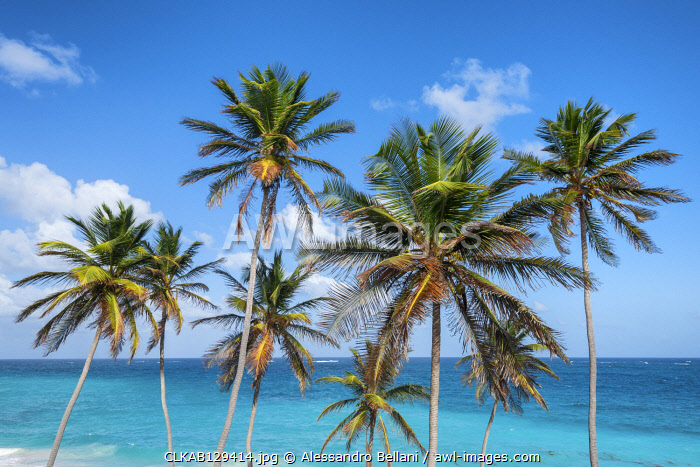 Tall palm trees and turquoise sea in background, Bottom Bay, Barbados Island, Lesser Antilles, West Indies