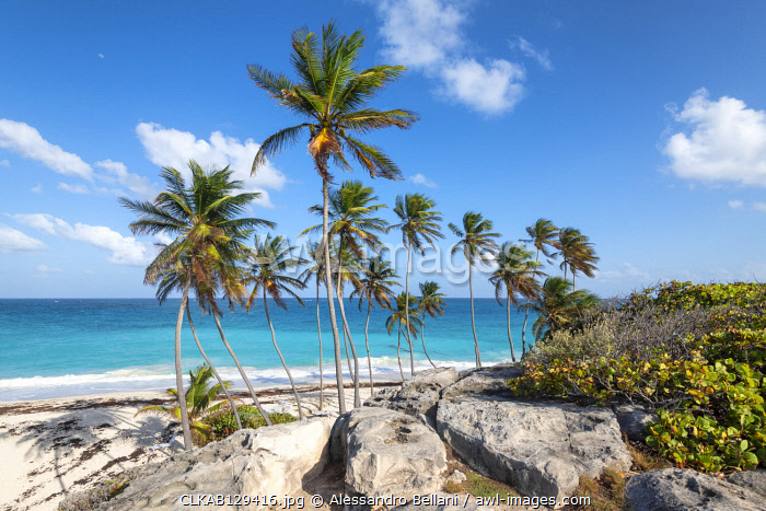 Big rocks and tall palm trees of Bottom Bay beach, Bottom Bay, Barbados Island, Lesser Antilles, West Indies