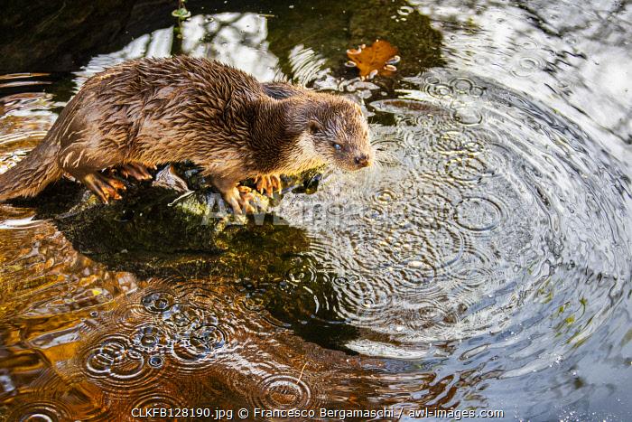 European Otter (Lutra lutra) on a pond in autumn. Tyrol, Austria