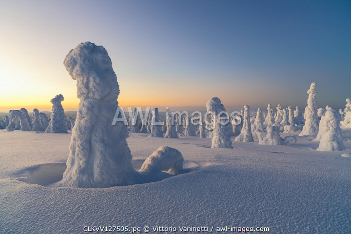 Frozen tree, called Tykky, in the snowy woods at Riisitunturi National Park (Posio, Lapland, Finland)