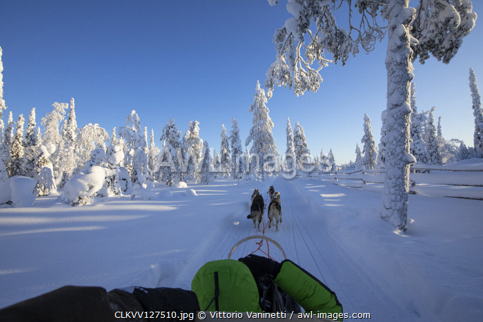 Dog sledding in the snowy woods, Kuusamo, Northern Ostrobothnia region, Lapland, Finland