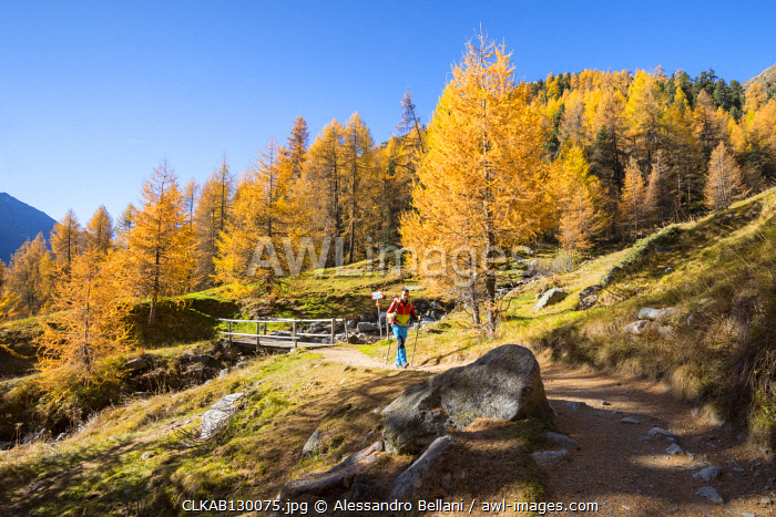 Hiker walks on the track in Livigno during autumn, Livigno, Province of Sondrio, Lombardy, Italy