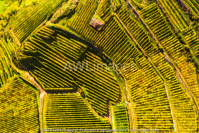 Top-down high angle view of vineyards, Valtellina