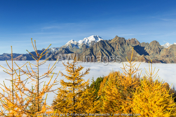 Mount Disgrazia above fog and larches in autumn. Valtellina, Lombardy, Italy