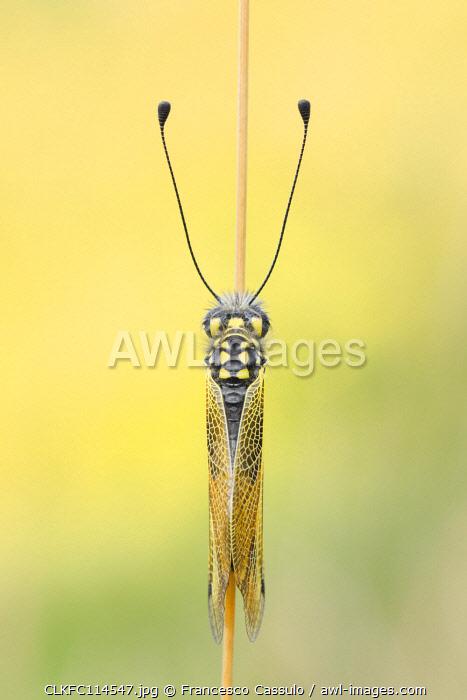 Libelloides longicornis, Vobbia, Liguria