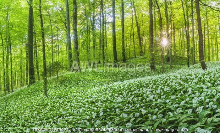 Flowering Ramsons (Allium ursinum), beech forest, Sihl forest near Zurich, Canton of Zurich, Switzerland, Europe
