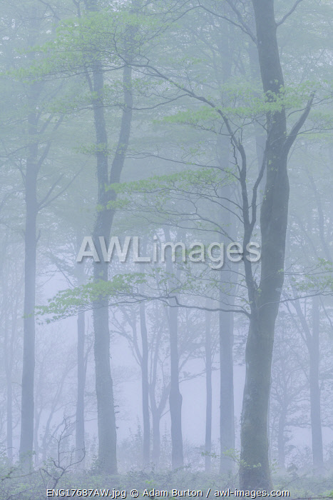 Spring deciduous woodland in fog, Cornwall, England. Spring (May) 2018.