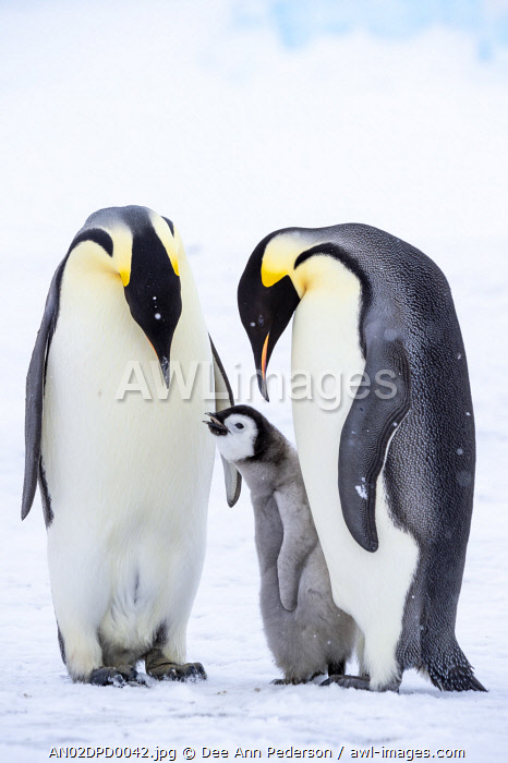 awl-images.com - Antarctica / Snow Hill Island, Antarctica. A proud pair of emperor penguins nestling and bonding with their begging chick.