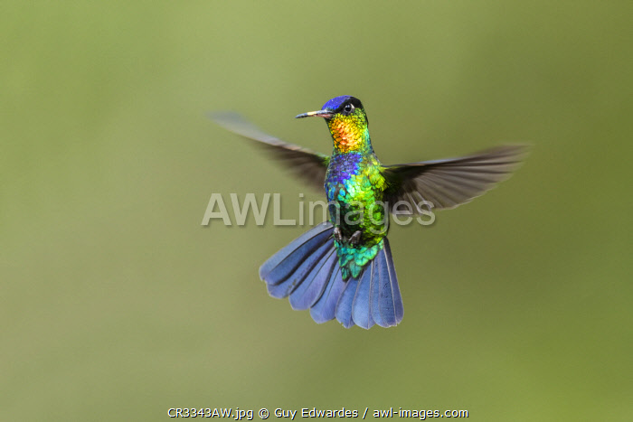 awl-images.com - Costa Rica / Fiery-throated Hummingbird (Panterpe insignis), Costa Rica