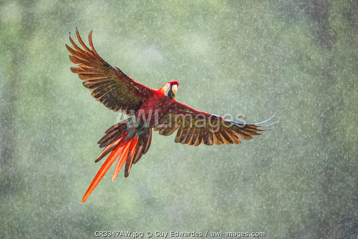 awl-images.com - Costa Rica / Scarlet Macaw (Ara macao) in flight in the rainforest, Costa Rica