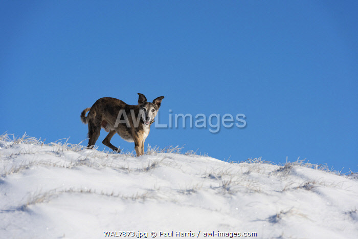 awl-images.com - Wales / Wales, Powys, Tanat Valley, Dog in snow
