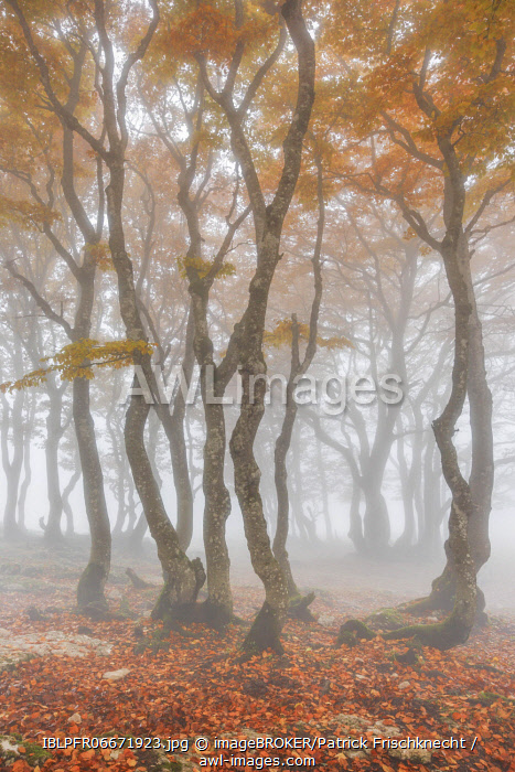 awl-images.com - Switzerland / Beech forest in autumn, Switzerland, Europe