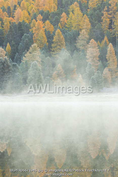 awl-images.com - Switzerland / Larch and spruce forest on Lake Stazersee, Switzerland, Europe