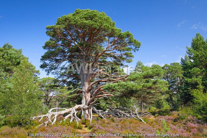 awl-images.com - Scotland / Scots pine, Cairngorms National Park, Scotland, United Kingdom, Europe