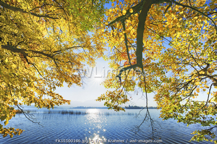 awl-images.com - Germany / Lime tree in autumn and lake - Germany, Bavaria, Upper Bavaria, Garmisch-Partenkirchen, Uffing, Rieden - Staffelsee