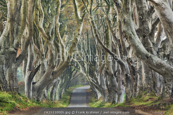 awl-images.com - Northern Ireland / Beech alley - United Kingdom, Northern Ireland, Antrim, Armoy, The Dark Hedges