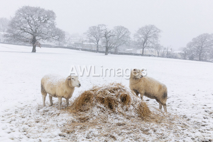 awl-images.com - England / England, West Yorkshire, Calderdale. Sheep feeding in winter.