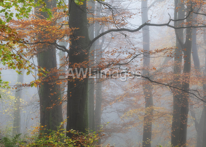 awl-images.com - England / England, West Yorkshire, Hebden Bridge. Beech trees in foggy autumn conditions.