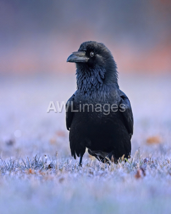 awl-images.com - Germany / Common raven (Corvus corax) Snowy landscape at sunrise, Middle Elbe Biosphere Reserve, Saxony-Anhalt, Germany, Europe