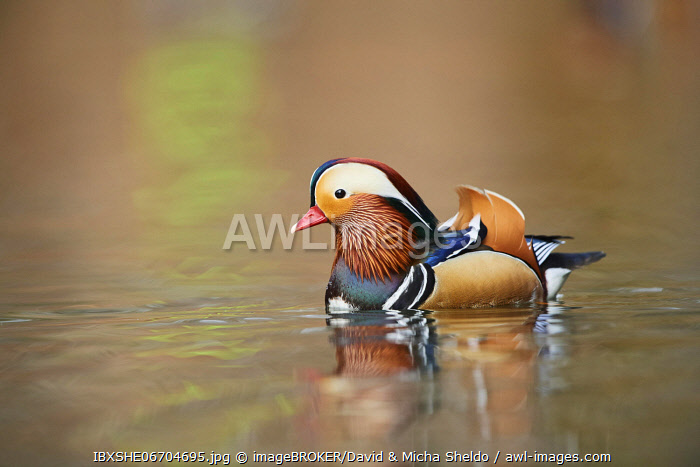 awl-images.com - Germany / Mandarin duck (Aix galericulata) male, swimming in water, Bavaria, Germany, Europe