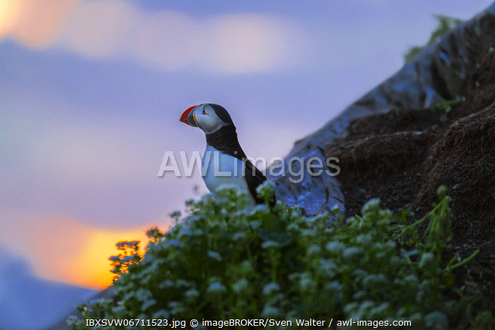 awl-images.com - Norway / Puffin (Fratercula arctica), evening light, Horn�ya, Varanger, Norway, Europe
