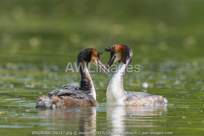 awl-images.com - Germany / Great crested grebe (Podiceps cristatus), with young birds and courtship display, Lower Saxony, Germany, Europe