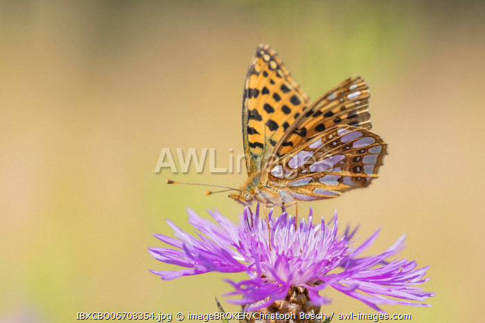 awl-images.com - Germany / Queen of Spain fritillary butterfly (Issoria lathonia), Lower Saxony, Germany, Europe